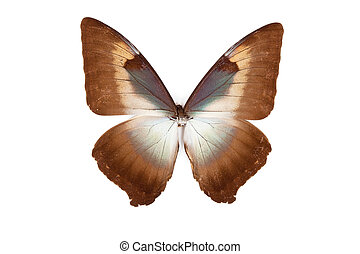 Brown and blue butterfly Morpho phanodemus isolated on white background