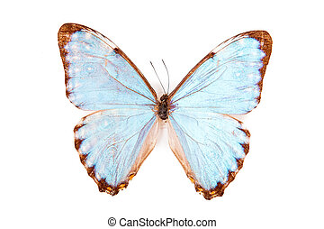 Brown and blue butterfly Morpho portis isolated on white background