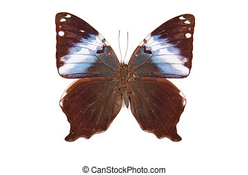 Brown and blue butterfly Prothoe frank isolated