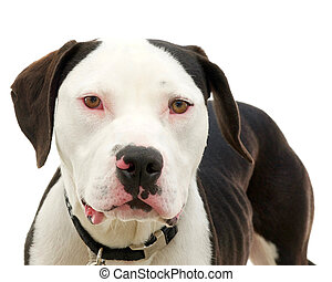 Brown and white american pit bull terrier with brown eyes,...