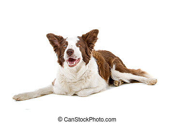 Brown and white border collie dog - Border collie dog lying...