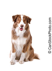 Brown and white border collie dog - front view of a brown...