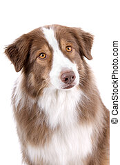 Brown and white border collie dog