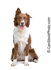 brown and white border collie dog sticking out tongue