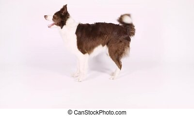 Border Collie dog walking backwards - Brown and white color...