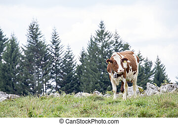 Brown and white cow grazing on a alpine pasture