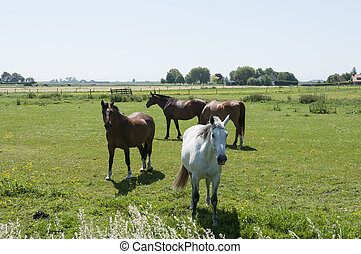 brown and white horses in dutch landscape