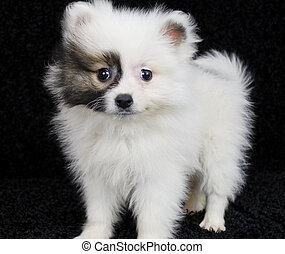 Brown and White Pomeranian Puppy