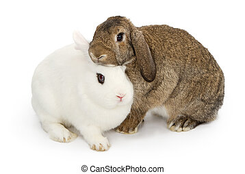 Brown and white rabbits snuggling - Two young rabbits...