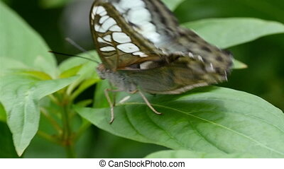 Brown and white spotted wings butterfly on a leaf