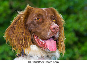 Springer Spaniel - Brown and White Springer Spaniel Dog