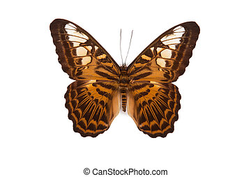Brown and yellow butterfly Parthenos silvia brunnea isolated on white background