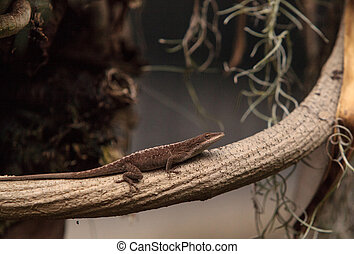 Brown anole also called the Bahaman anole or Anolis sagrei...