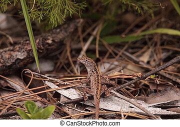 Brown anole lizard Anolis sagrei climbs on grass and leaves...