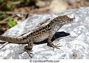 Brown Anole Lizard (Anolis sagrei) in southern Florida