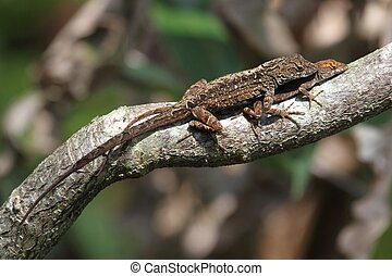 Brown Anole Lizards (Anolis sagrei) mating in southern...