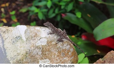 brown anole - close-up of brown anole lizard on a rock