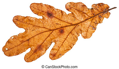 brown autumn leaf of oak tree isolated