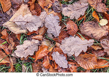 Brown autumn leaves with morning frost