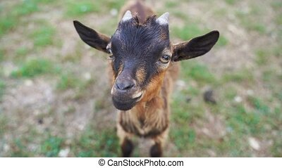 Brown baby goat sitting on grass on a summer day. Cruelty free livestock farming. High quality 4k footage