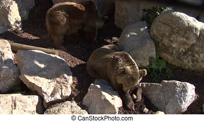 brown bear 03