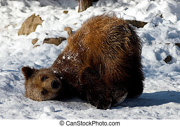Brown Bear - A brown bear cub plays in the snow, falling ...