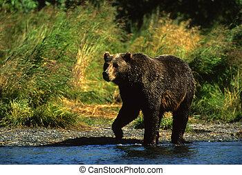 Brown Bear - a brown bear walking along a salmon stream in...