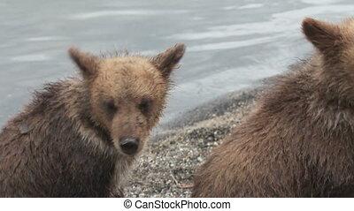 Brown bear and cub. Summer