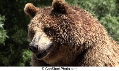 Brown Bear Animal Wildlife