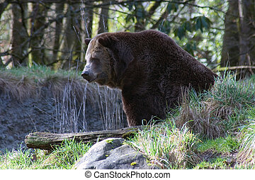 Brown Bear - Bear in the woods.