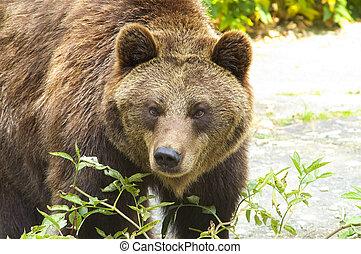 Brown bear - Big brown bear in zoological garden