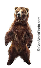Brown bear - Big standing brown bear, isolated