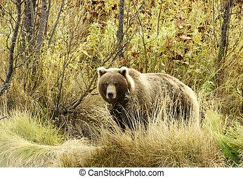 Brown bear. - Brown bear, in a habitat of dwelling. Russia....