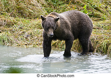 Brown Bear Catching A Fish