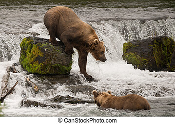 Brown bear climbing down rock in waterfall