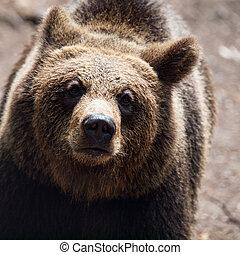 Brown bear. Close-up view