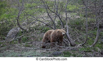 Brown bear. Courtship. Marking.