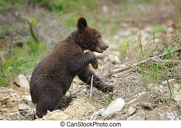 Brown bear cub - Cub brown bear in the summer natural...
