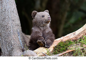 Brown bear cub - Wild brown bear cub close-up