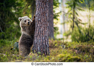 Brown bear cub stands on its hind legs.  Scientific name: Ursus arctos. In the summer forest.