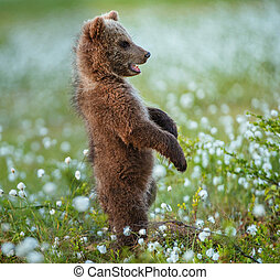 Brown bear cub stands on its hind legs.  Scientific name: Ursus arctos. White flowers on the bog in the summer forest.