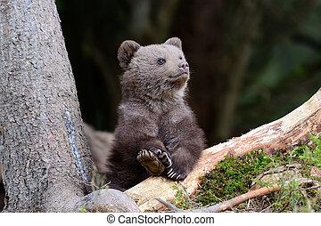 Brown bear cub - Wild brown bear cub close-up