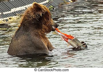Brown bear eating a salmon caught in Kurile Lake.