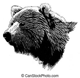 Brown Bear Head - Brown Bear Ursus arctos, scratchboard
