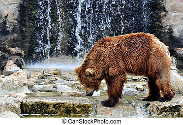 Brown bear (Ursus arctos) is a large bear distributed across much of northern Eurasia and North America. Adult bears generally weigh between 300 and 680 kilograms (660 and 1,500 lb) and its largest subspecies is the Kodiak bear