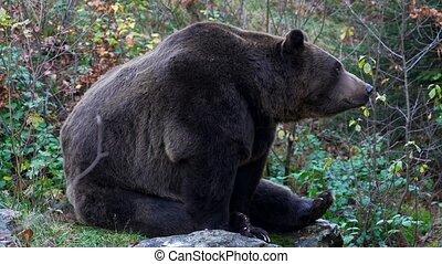 brown bear in autumn