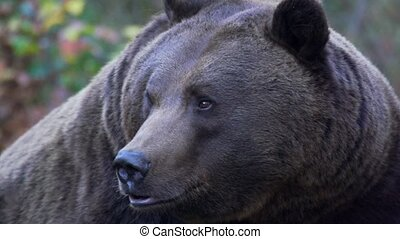 brown bear in autumn