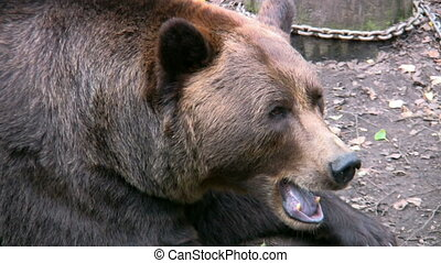 Brown Bear in captivity 5