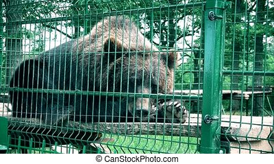 Brown bear in captivity on hot summer day. Animal in zoo...