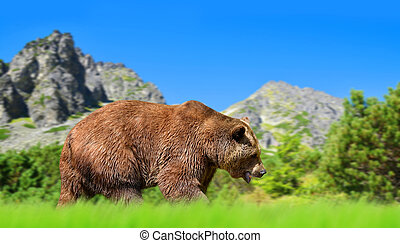 Brown bear in mountain landscape.